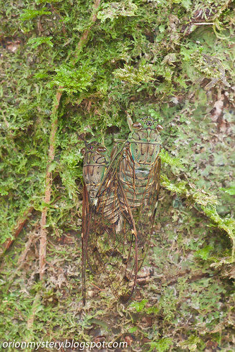 Mating cicadas IMG_5737 copy