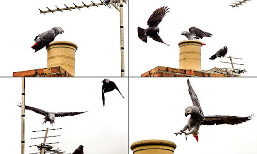 Incredible photos show African grey parrot defending its patch