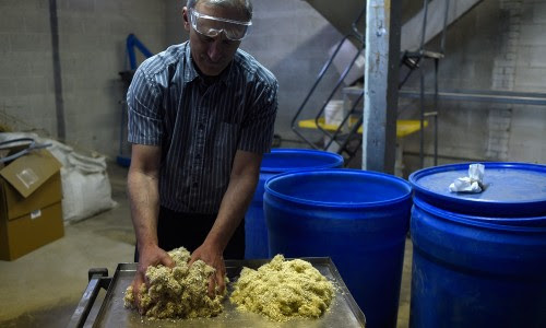 PureVision Technology president Ed Lehrburger handles male and female hemp on Wednesday, June 10, 2015. PureVision Technology Inc. is a Fort Lupton biofuels company that is processing hemp stalks into sugars, lignin, pulp and CBD extracts. (AAron Ontiveroz, The Denver Post)