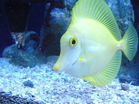 koleksi gambar ikan hias cantik  gambar keren