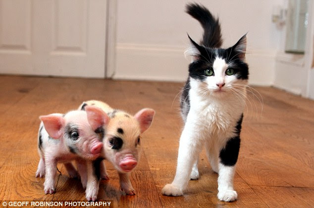 Pet with a difference: The micro pigs (pictured with an average sized cat) are much smaller than a standard farm pig and weigh 9oz when they are born