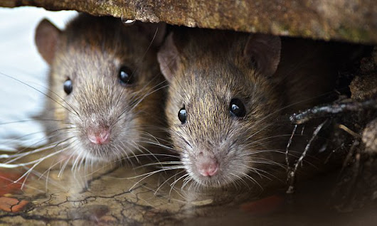 New York's most rat-infested neighborhoods are revealed