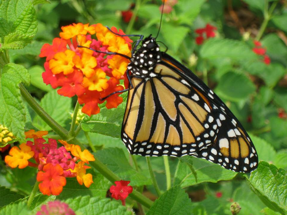 Download 100 Monarch Butterflies in Envelopes - Michigan Native ...