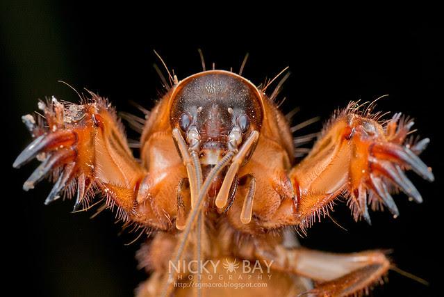 Mole Cricket (Gryllotalpidae) - DSC_1272