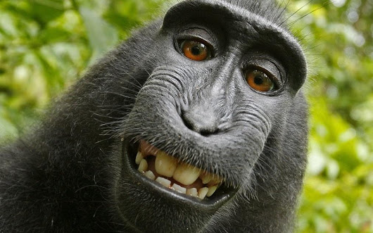 Monkey selfie case: British photographer settles with animal charity over royalties dispute
