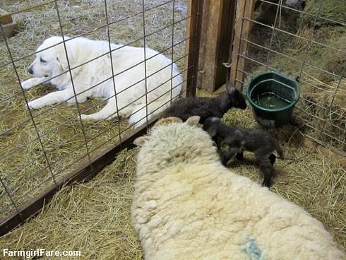 Lambing season begins! (14) - FarmgirlFare.com