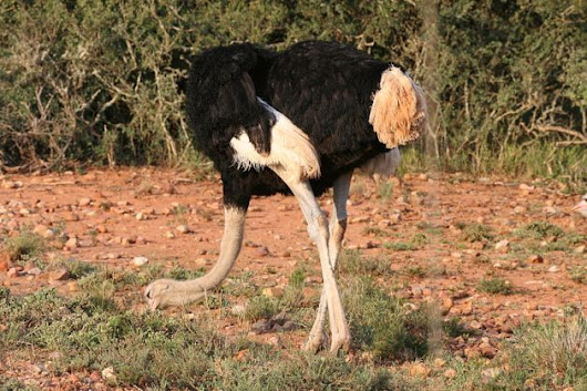 Why do people think that ostriches bury their heads in the sand?