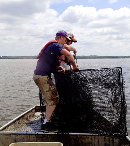 Native Fish Eat Asian Carp On Illinois River, Invasive Still Prolific