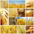 GMO Wheat - Barr-Ag Hay & Grain Exporters Blog