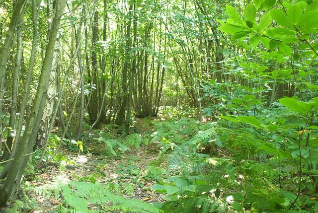 DSC_6990 woodland