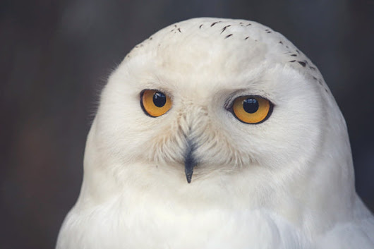 Owl, Symbol of the Connection with Intuition