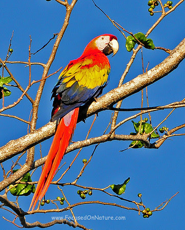 Scartlet Macaw