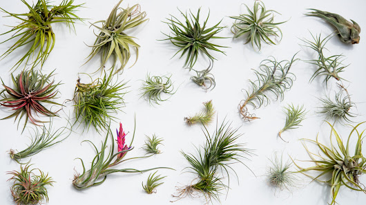 Breathless: An Air Plant Update, and Our eHow Tutorial | The Horticult