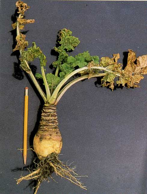 Turnip Mosaic Virus Tumv Of Rutabaga