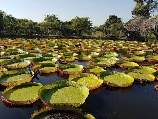 Victoria amazonica or Giant water lily in Thailand.