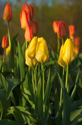 Orillia - A Perfect Crop, tulips at Veteran's Park