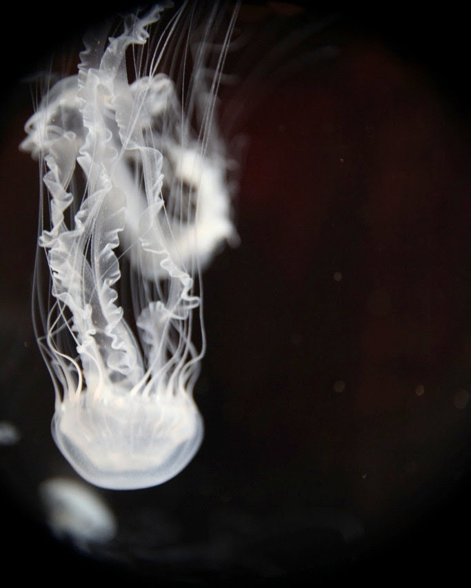 Jellyfish Photography, Nature, Sealife, Underwater Beauty