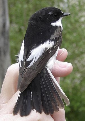 English: Young male european pied flycatcher (...