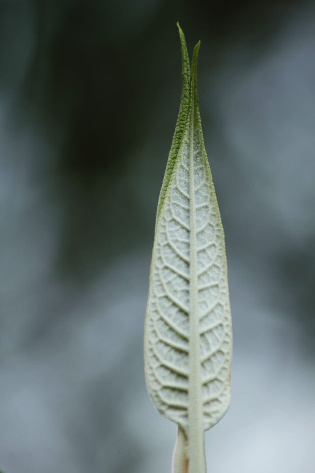 Teposan Leaf