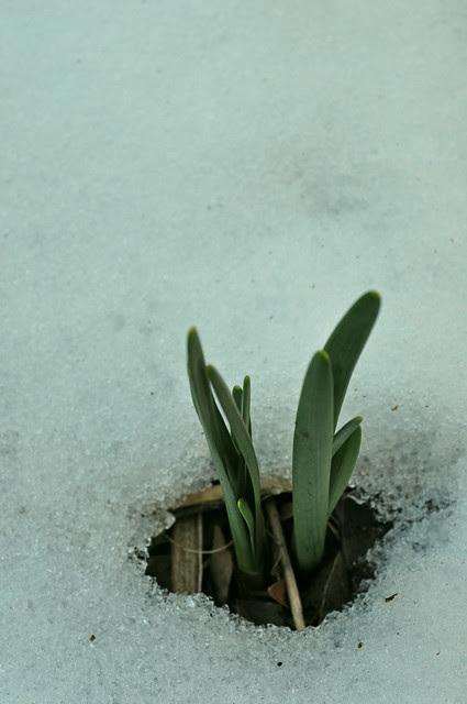Narcissus Emerging