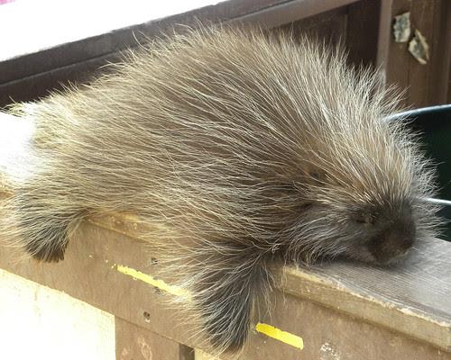 Cute Porcupine Guy
