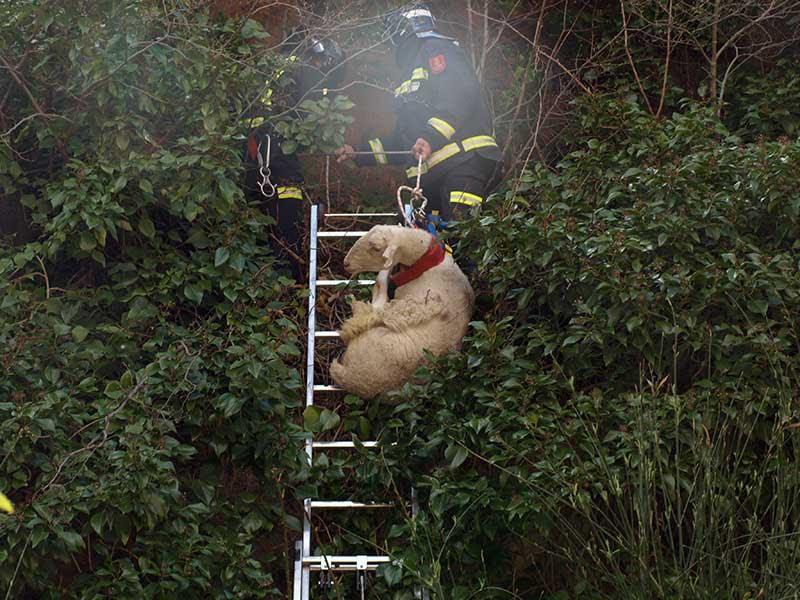 Momento en el que descuelgan el animal desde la cornisa en la que había caído.