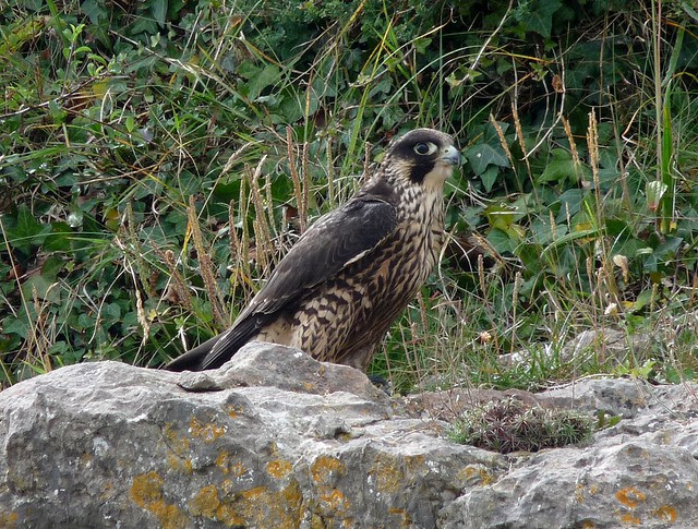24956 - Peregrine Falcon, Oxwich Point