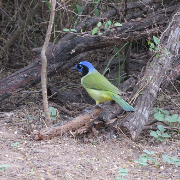 Texas 2015 green jay for ws
