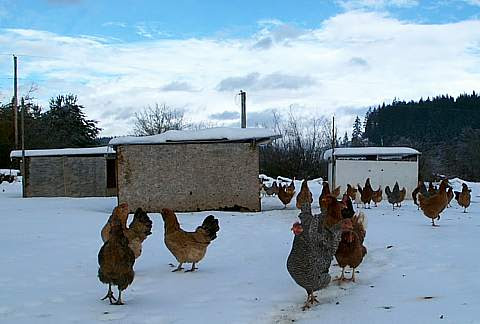 Your Chickens in December [Newsletter] | Practical Poultry Tips
