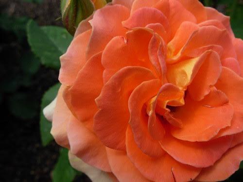Sonnenberg rose