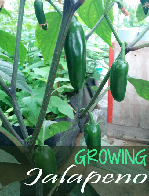 Growing Jalapenos - How to grow Jalapeno Pepper Plant