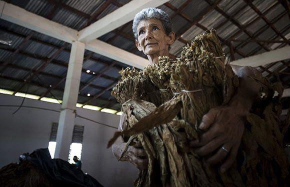 El papel de la mujer destaca en el proceso de producción del tabaco. Foto: Irene Pérez/ Cubadebate.