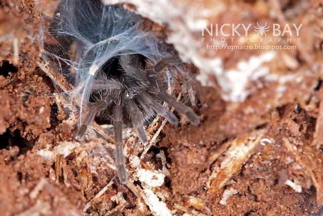 Tarantula (Phlogiellus sp.) - DSC_9790