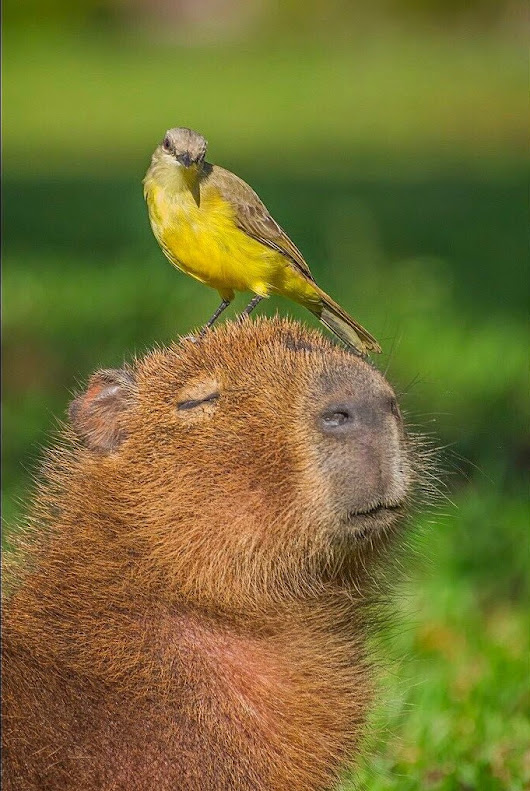 Animals Sitting on Capybaras