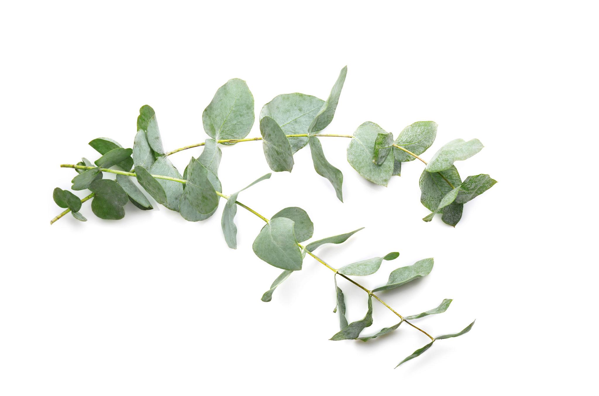 bigstock Green eucalyptus branches on w 158655248