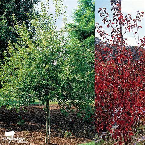 Ornamental Pear   Korean Sun?   Perth, WA   Online Garden