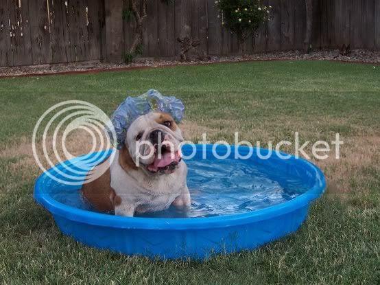 english bulldog taking a bath with a shower cap
