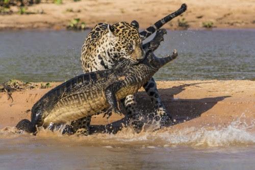 jaguar-εναντίον-κροκόδειλου-ανελέητη-μάχη-από-τα-δύο-πιο-άγρια-αρπακτικά