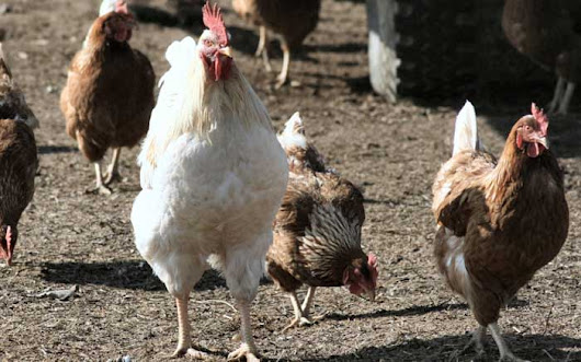 'Humans can't contract new strain of avian influenza'