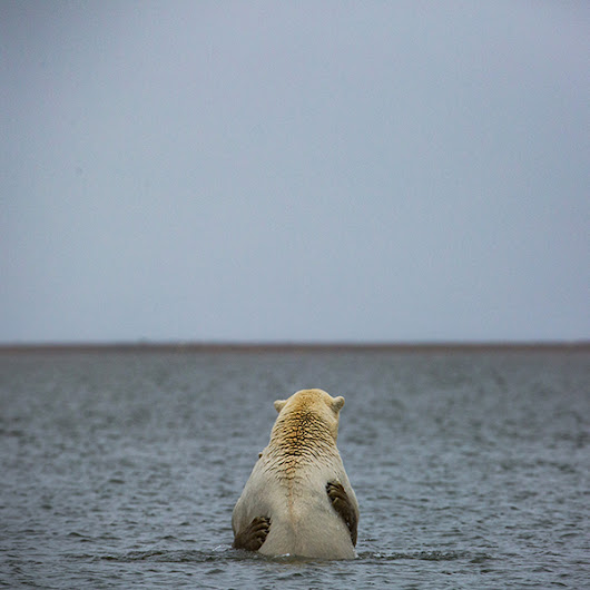 Polar Bears' Path to Decline Runs Through Alaskan Village - NYTimes.com
