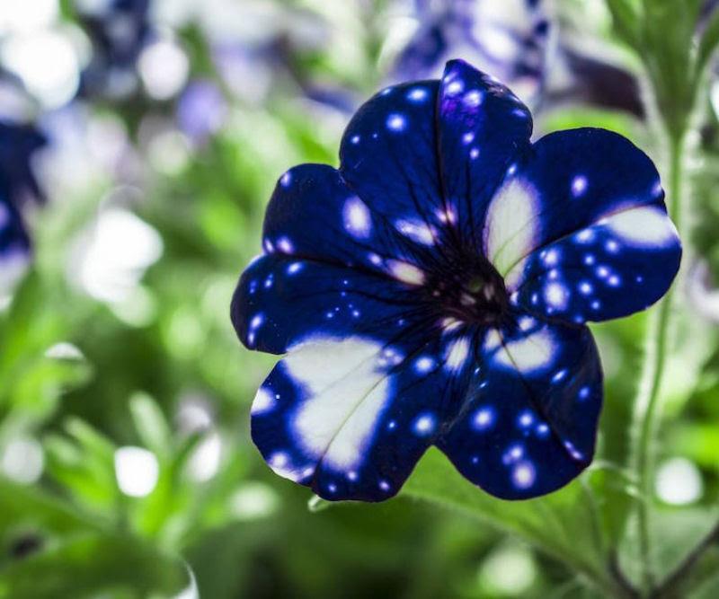 Flores espetaculares parecem ter o universo estampado em suas pétalas 05