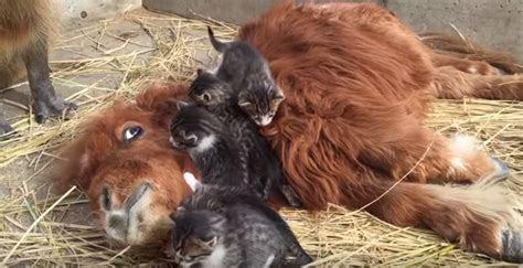 So a Mini Horse, Some Kittens and a Capybara Walk into a Bar