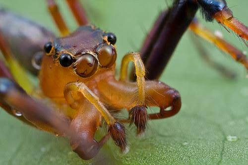 Male Bathippus sp. jumping spider..IMG_9819b copy