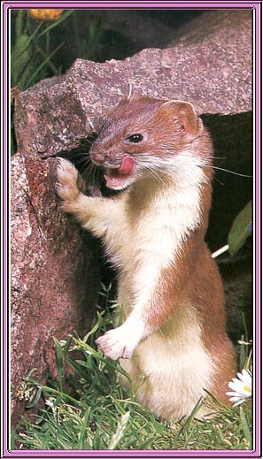 Men Who Glare at Stoats