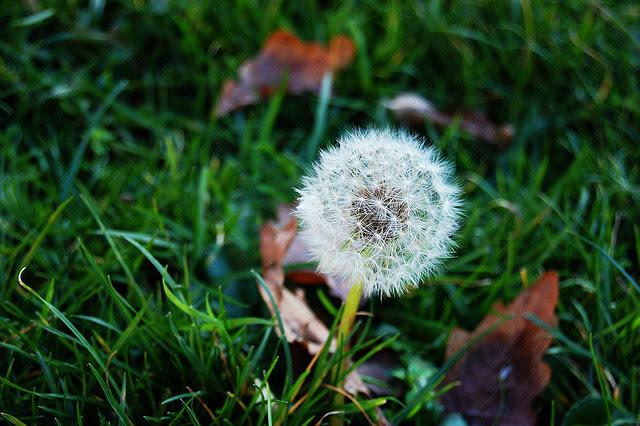 dandelion, flower, matti, photo, photography