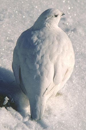 English: Rock Ptarmigan(Lagopus mutus japonicu...