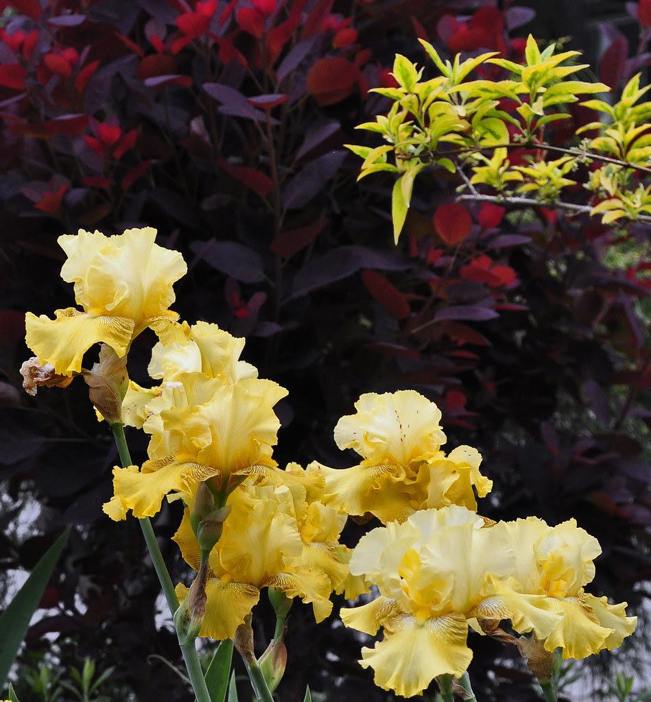 Yellow Iris with Purple Smoke