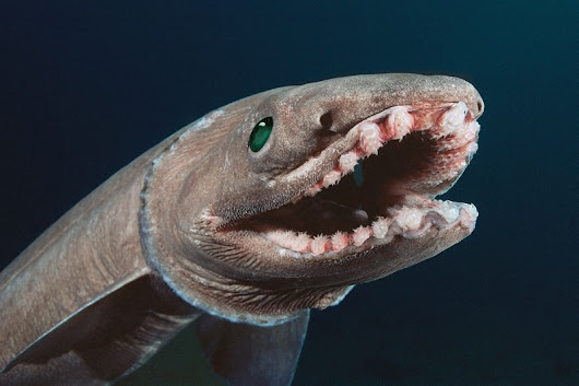 Deep sea sharks pig out on beef, lamb and veg we throw away