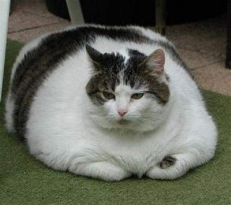 Silly Cat Pictures: The Fattest Cats