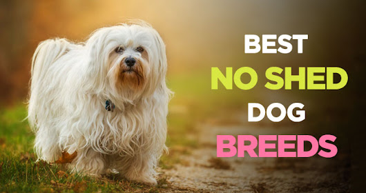Dogs That Don't Shed: 31 Hypoallergenic Dogs for Allergy Suffers